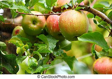 maduro, hermoso, manzanas, en, el, ramas, de, manzano