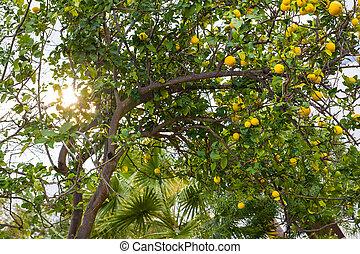 maduro, limões, pendurar, um, árvore, em, grécia, com, raios sol, brilhar, através, a, folhas