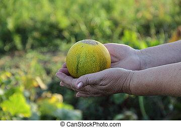 maduro, melão, em, mãos, de, a, mulher idosa