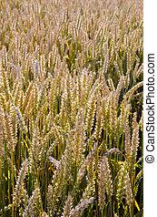 maduro, trigal, closeup, agrícola, fundo
