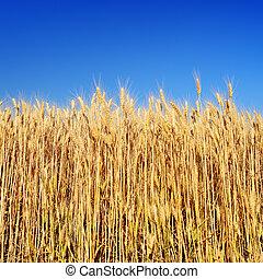 maduro, trigo, orelhas, azul, céu