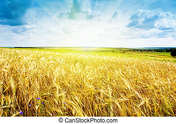 maduro, trigo, paisagem, contra, céu azul