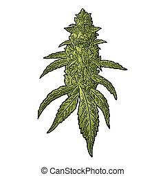 maduro, vector, hojas, planta, grabado, buds., ilustración, marijuana