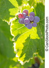 maduro, videira, vinhedo, luxuriante, uvas, harvest., pronto, vinho
