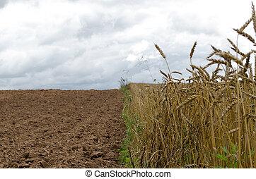 maduro, wheats, colheita, arado, campo agrícola, solo