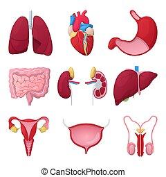 mage, hjärta, läkar illustration, anatomi, vektor, mänsklig, kidneys., organs