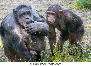 two animals chimpanzee female with cub - mage of two animals...