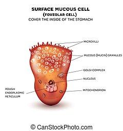 mage, vägg, foveolar, yta, cell, slemmig, eller