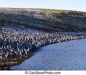 Magellan penguins - Magellanic penguins, Peninsula Valdez, ...