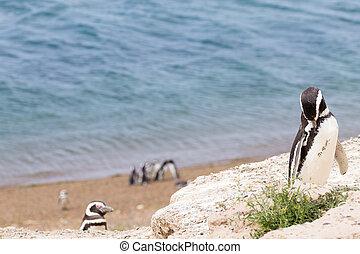 Magellanic penguin. Caleta Valdes penguin colony, Patagonia, Argentina