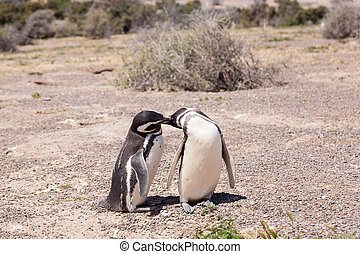Magellanic penguin close up. Punta Tombo penguin colony, Patagonia