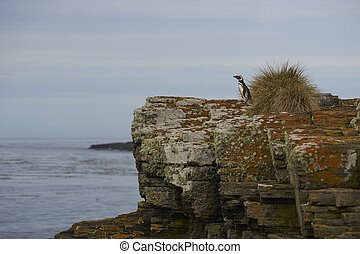 Magellanic Penguin looking out to sea