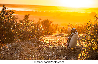 Magellanic Penguins, early morning at Punto Tombo, Patagonia, Argentina in early morning