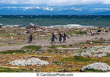 Magellanic penguins in natural environment - Seno Otway Penguin Colony