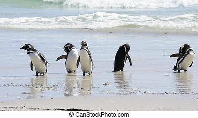 Magellanic Penguins on the beach Falkland Island (Malvinas)