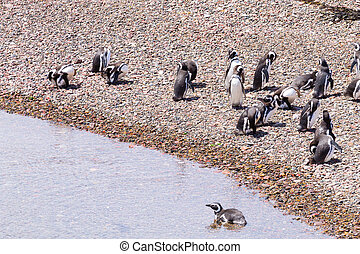 Magellanic penguins. Punta Tombo penguin colony, Patagonia