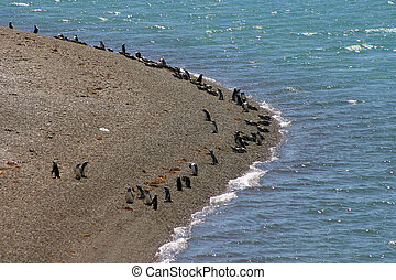 magellanic, pingüins, valdes, peninsula.