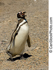 magellanic pinguin, in, punta, tombo, patagonia.
