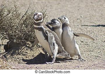Magellanpinguin, Punta Tombo - Magellanic Penguin, Punta...