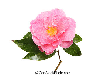 Magenta Camellia flower and glossy evergreen leaves isolated...