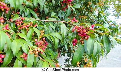 Magenta Cherry, Syzygium Paniculatum - Tree of magenta...