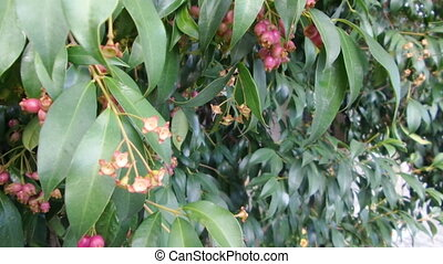 Magenta Cherry Tree - Tree of magenta cherry named also...
