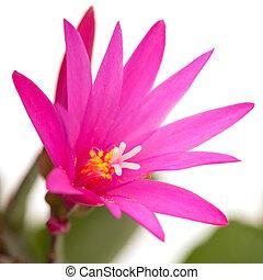 Christmas Cactus - Magenta Christmas Cactus isolated on ...