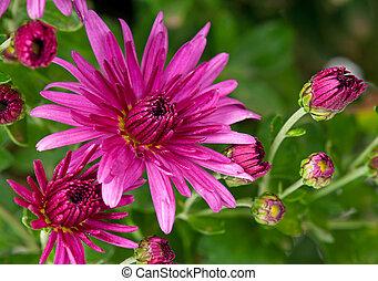 Magenta chrysanthemum - Bright magenta chrysanthemum over...
