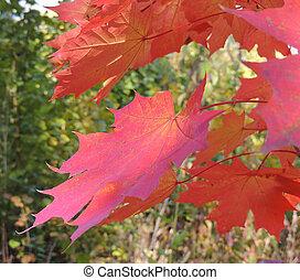 magenta foliage of maple
