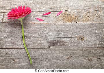 magenta, gerbera, blomma