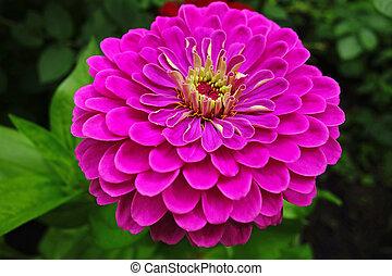 Magenta gerbera flower