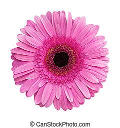 Gerbera flower, isolated