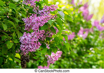 magenta lilac on color blurred background - magenta lilac...