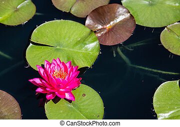 Magenta Lilly in Pond - A brilliant magenta water lilly in a...