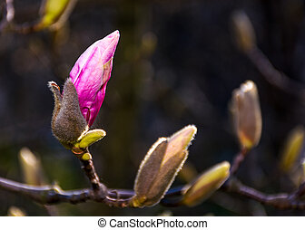 Magenta Magnolia flower opening in springtime. beautiful...