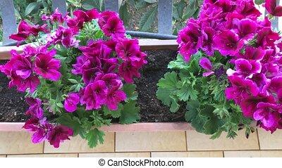 Magenta Regal Geraniums - Magenta regal geraniums inside...