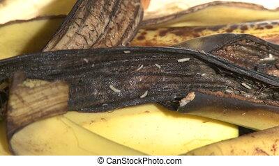 Maggots Crawling on Banana Peel