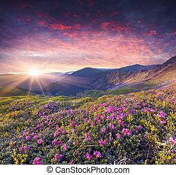 magi, rosa, rhododendron, blomningen, in, den, sommar,...