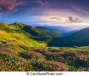 magia, rosa, rododendro, flores, en, el, montañas., verano, salida del sol