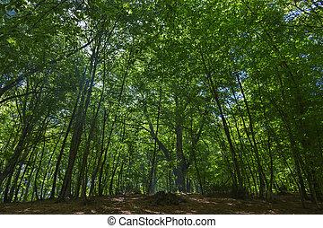 Magic beech forest