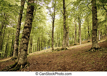Magic forest - A view of a beech forest in autumn colours