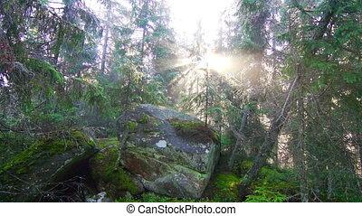 Magic Pine Forest at Sunrise