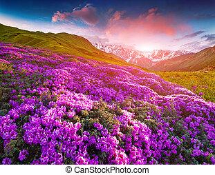 Magic pink rhododendron flowers in the mountains. Summer ...