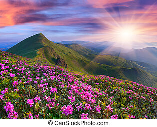 Magic pink rhododendron flowers in the mountains. Summer...