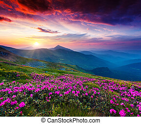 flower - Magic pink rhododendron flowers on summer mountain...