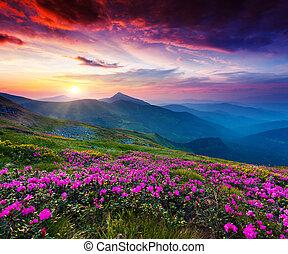 Magic pink rhododendron flowers on summer mountain. Dramatic overcast sky. Carpathian, Ukraine, Europe. Beauty world.