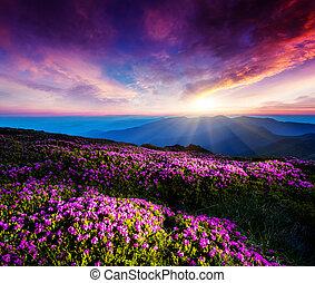 Magic pink rhododendron flowers under the dark blue sky. Majestic Carpathian, Ukraine, Europe. Beauty world.