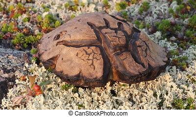 magic symbol Scandinavian special mushroom in tundra -...