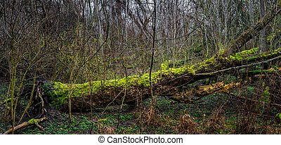 Magical ancient forest at early Spring  covered with moss and lichen near Magdeburg, Germany, closeup