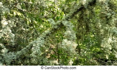 Magical forest. Trees covered with lush lichens - Trees...